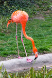 American or Caribbean Flamingo portrait Stock Photo