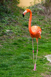 American or Caribbean Flamingo portrait Royalty Free Stock Photos