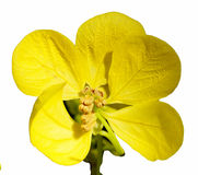 American Cassia Stock Photography