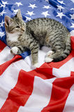 American cat royalty free stock photography
