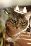 American Cat Stock Photos
