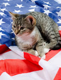 American cat Stock Images