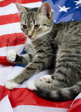 American cat Stock Photo