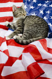 American cat Royalty Free Stock Images