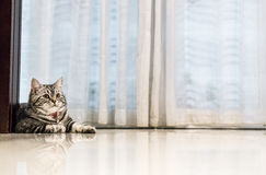 ortrait cat Little American shorthair cat stock photos