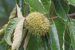 American chestnut fruit. (Castanea dentata stock image