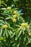 American chestnut on a tree. Green american chestnuts on a tree Royalty Free Stock Images