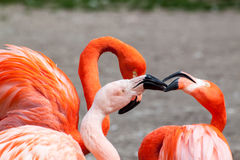 American and Chilean flamingo Royalty Free Stock Image