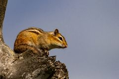 American Chipmunk warming himself in a tree at sunrise. Being watchful Stock Photography