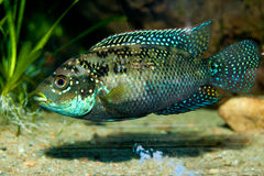 American Cichlid Royalty Free Stock Image