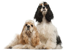 American Cocker Spaniel, 1 year old. And American Cocker Spaniel puppy, 6 months old, in front of white background stock photos