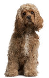 American Cocker Spaniel, 10 months old. Sitting in front of white background royalty free stock photos