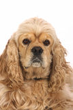 American Cocker Spaniel Royalty Free Stock Image