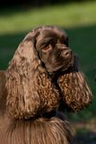 American Cocker Spaniel. – portrait female Stock Photography