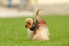 American Cocker Spaniel. Dog on the green field Stock Photography