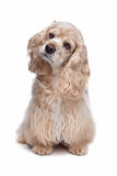 American Cocker Spaniel. In front of a white background stock photography