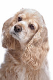 American Cocker Spaniel. In front of a white background Royalty Free Stock Images