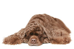 American cocker spaniel Royalty Free Stock Photos