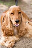 American Cocker Spaniel Stock Image