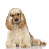 American Cocker Spaniel Stock Photos