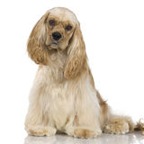 American Cocker Spaniel Stock Images