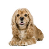 American Cocker Spaniel (3 years) Stock Image