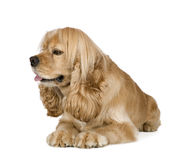American Cocker Spaniel (3 years). In front of a white background royalty free stock images