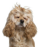 American Cocker Spaniel, 3 years old. With eyes closed in front of white background royalty free stock photos