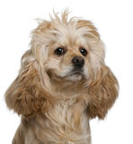 American Cocker Spaniel, 3 years old Stock Photos