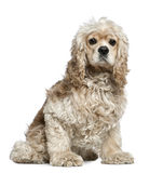 American Cocker Spaniel, 3 years old, sitting. In front of white background royalty free stock photos
