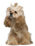 American Cocker Spaniel, 3 years old, sitting Royalty Free Stock Image