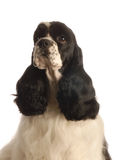 American cocker spaniel. Black and white american cocker spaniel isolated on white background -  champion bloodlines Royalty Free Stock Photo