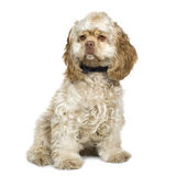 American Cocker Spaniel (8 months). In front of a white background stock image