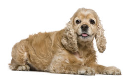 American Cocker Spaniel, 8 years old, lying Royalty Free Stock Image