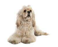 American Cocker Spaniel (9 months old) Stock Images