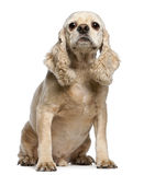 American Cocker Spaniel, 9 years old, sitting Royalty Free Stock Image