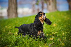 American cocker spaniel in autumn. American cocker spaniel portrait in autumn Royalty Free Stock Images