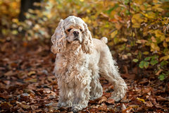 American cocker spaniel in autumn forest Stock Photography