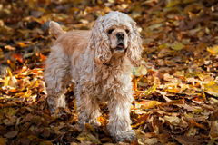 American cocker spaniel in autumn forest Royalty Free Stock Photos