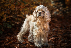 American cocker spaniel in autumn forest Royalty Free Stock Images
