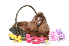 American cocker spaniel in a basket Stock Photos
