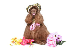 American cocker spaniel in cap on white Stock Photography