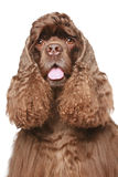 American cocker spaniel Close-up portrait. On white background Royalty Free Stock Photo