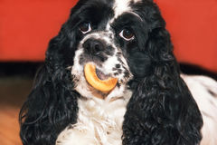 American cocker spaniel with cookies Stock Photos