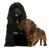 American Cocker Spaniel and dachshund puppy Royalty Free Stock Images