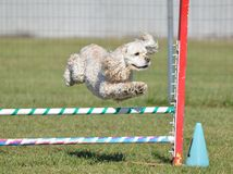 American Cocker Spaniel at a Dog Agility Trial Stock Photos