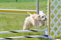 American Cocker Spaniel at a Dog Agility Trial Royalty Free Stock Image