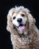 American Cocker Spaniel dog, fawn color. Portrait of an American Cocker Spaniel dog on black background Royalty Free Stock Images