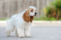 American cocker spaniel dog outdoors Stock Photos