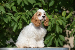 American cocker spaniel dog outdoors Royalty Free Stock Photo